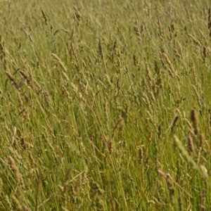 Orchard-Grass-B
