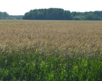 Smooth-Bromegrass