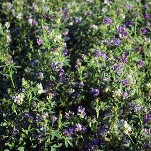 Taproot-Alfalfa