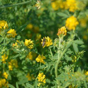 Yellow-Blossom-Alfalfa