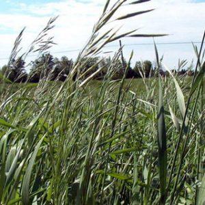 bromergrass-meadow
