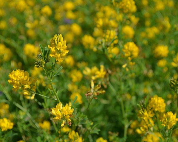 AC-Yellowhead-Alfalfa