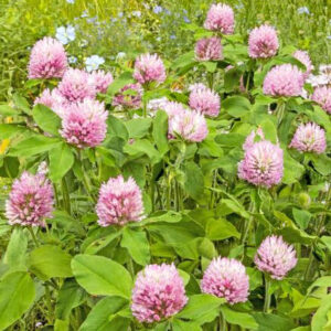 double-cut red clover